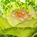 cabbage flower
